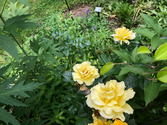 RiverRockLandscaping_YellowRoses_edited.png