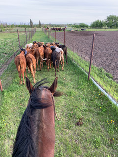 """Chasing """"The Steers up"""""""