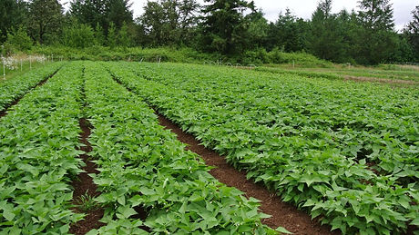 limabean plants.jpg
