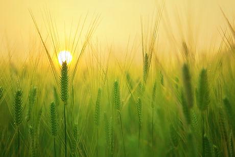 agriculture-barley-field-beautiful-close