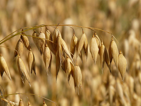 field-agriculture-harvest-cereals-87824.