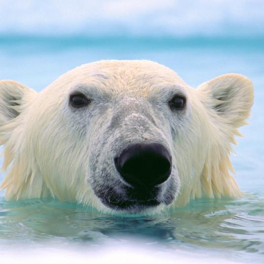 Polar Bear in the Arctic - Photo by Amos