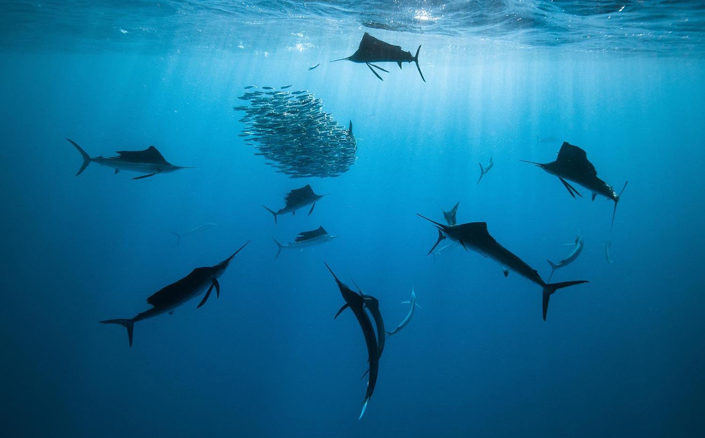 Sailfish-Hunting.jpg