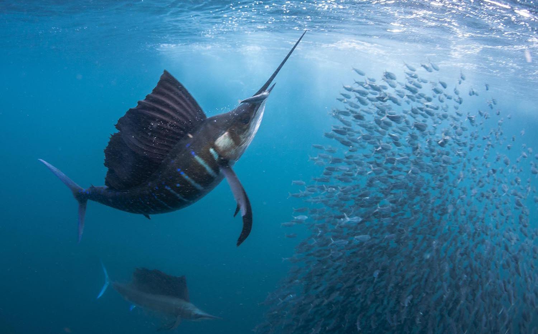 Sailfish-Snacking.jpg