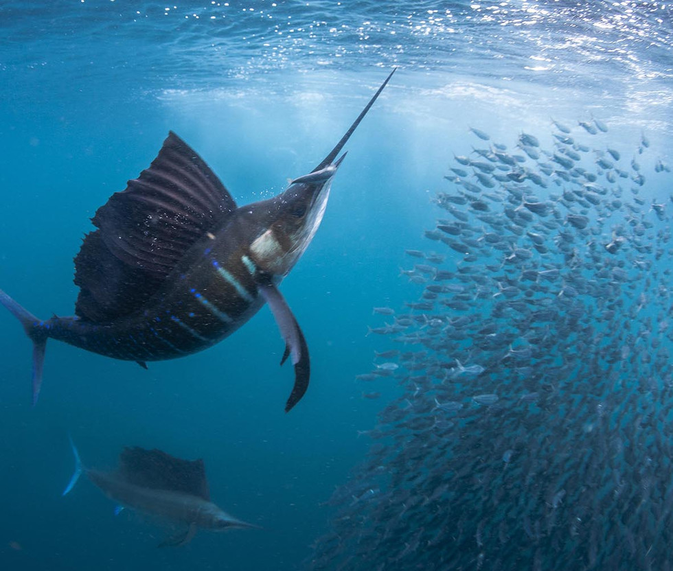 Sailfish-Snacking.jpg