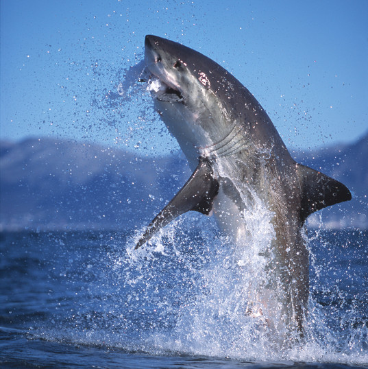 Great White Shark breaching -Photo by Am