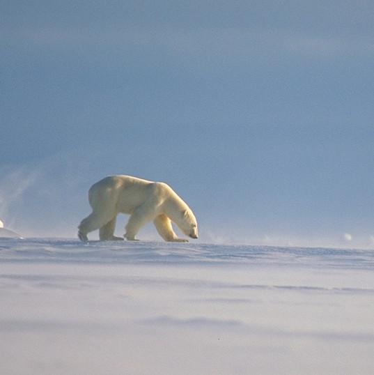 PB in the Arctic - photo by Amos Nachoum