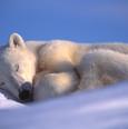 Polar Bear Sleeping - Photo by Amos Nach