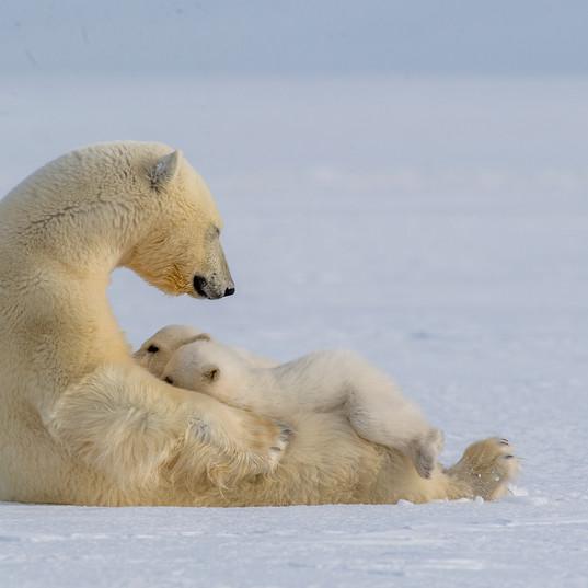 Polar Bear Nursing - Photo by Amos Nacho