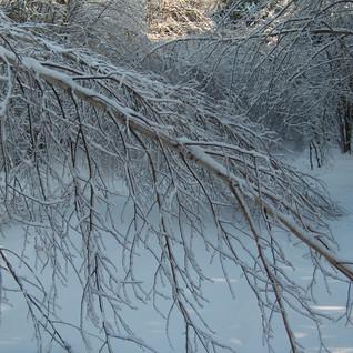 Ice storm dec 22 2013Gray Birch plains r