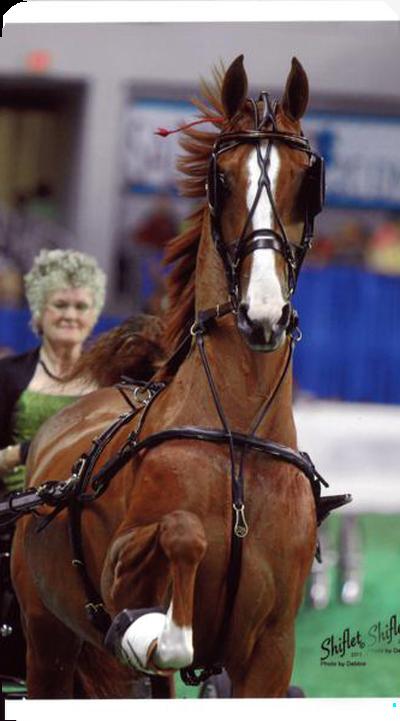 Saddlebred, Morgan, Andalusion, Quarter Horse