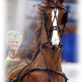 Saddlebred -Morgan Andalusion Quarter Horse