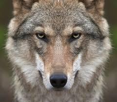 L'histoire du loup devenu Lou