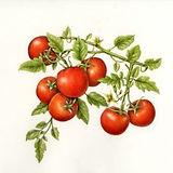 evde-domates-yetistirmek.jpg