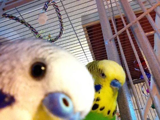 Muhabbet kuşu çiftleşmesi nasıl olur