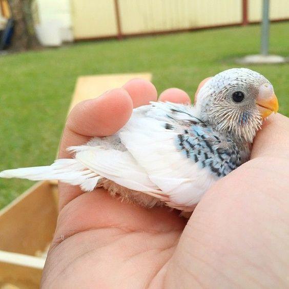 Muhabbet kuşu yavru gelişimi