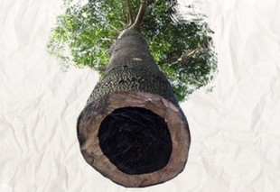 Abanoz ağacından faydalanmak için ne gerekir?
