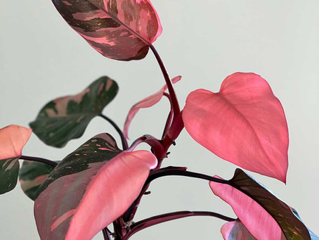 Philodendron Pink Princess Care Tips