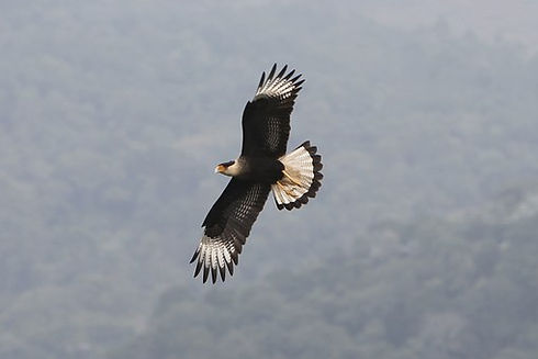 hawk soaring2.jpg