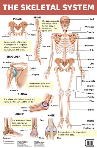 The Skeletal System : Charts