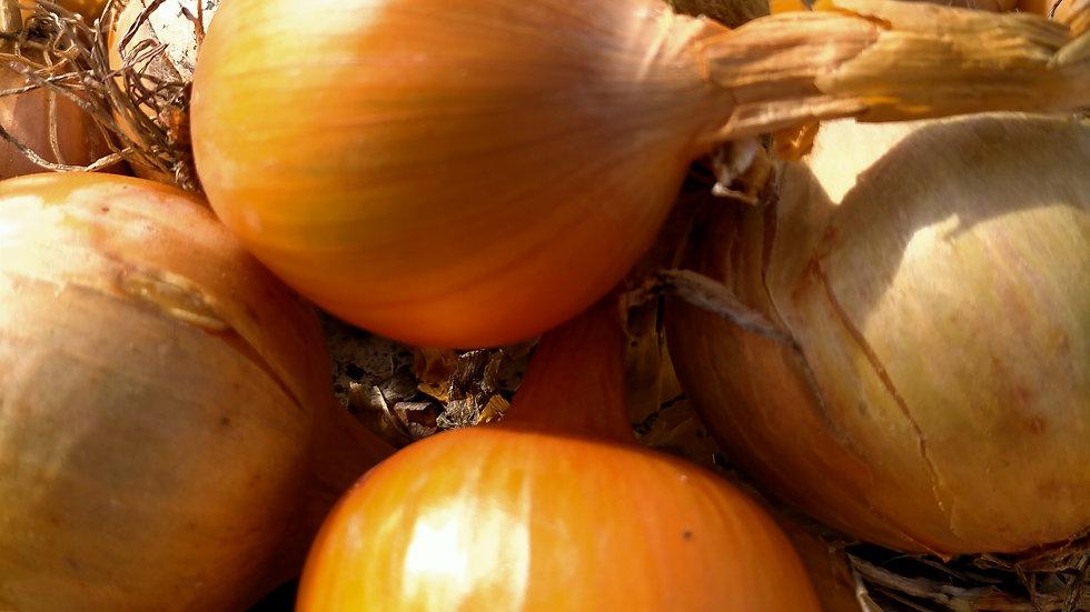 Petit oignon jaune Bio GRTA / kg