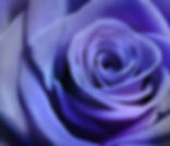 Close up image of beautiful purple rose.
