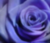 Close up image of beautiful purple rose.