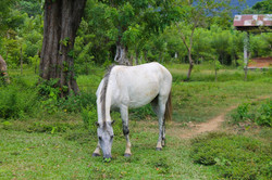 CPED Horse