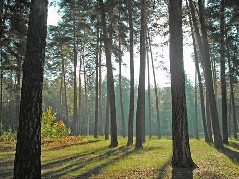 Чем полезен сосновый лес у дома