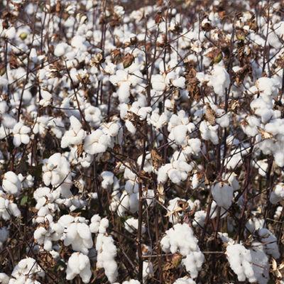 PRIVATO cotton.jpg