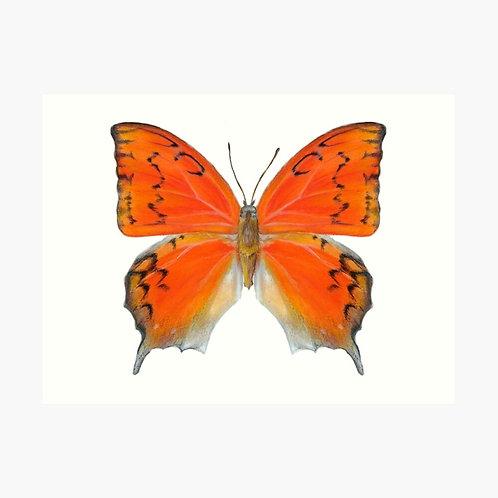 16x12 Premium Art Print Florida LeafwingButterfly