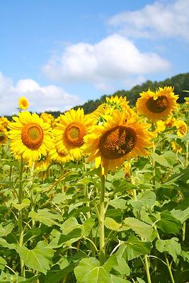 frazierfarm4sunflowers.jpeg