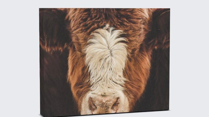 Fuzzy cow canvas
