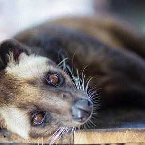 What are civets?
