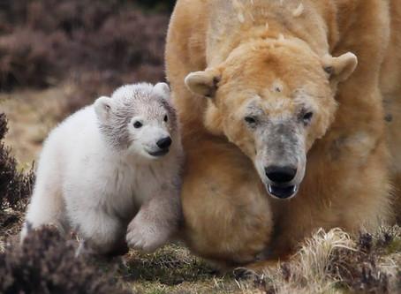 Polar Bear Cub Gender & Name!