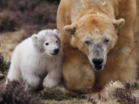 Polar Bear Cub Gender & Name!