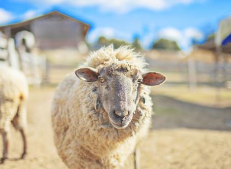 「羊は羊飼いの声を聞きわける」