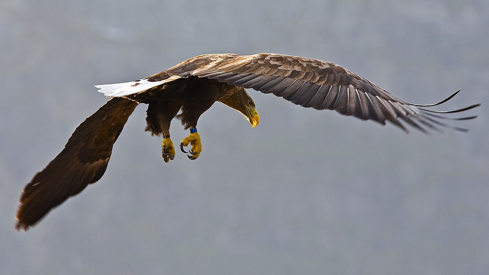 A white-tailed eagle flying and looking down.