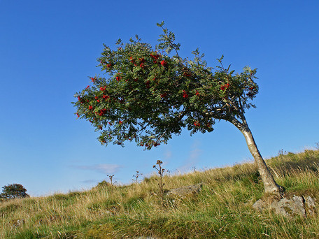 Treewilding; Six British tree species to boost your restoration project