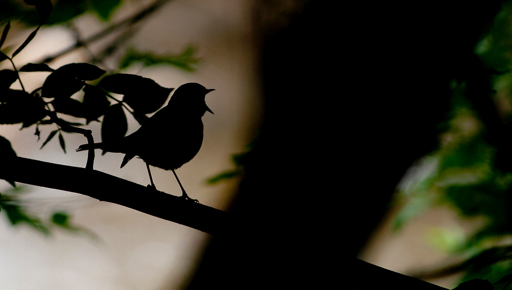 The silhouette of a songbird in full song.