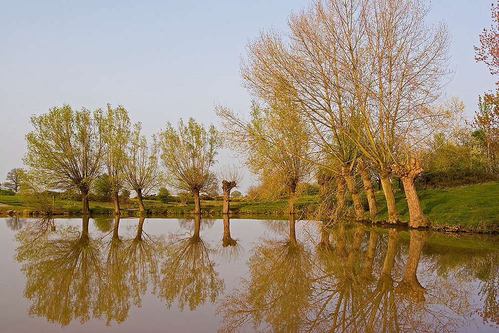 A row of pollarded willow trees and black popular trees bordering a pond in the countyside.