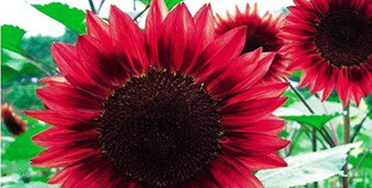 Flower seeds-SA108