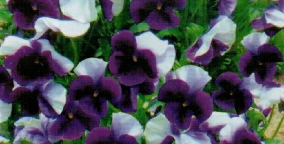 Flower seeds-SA288