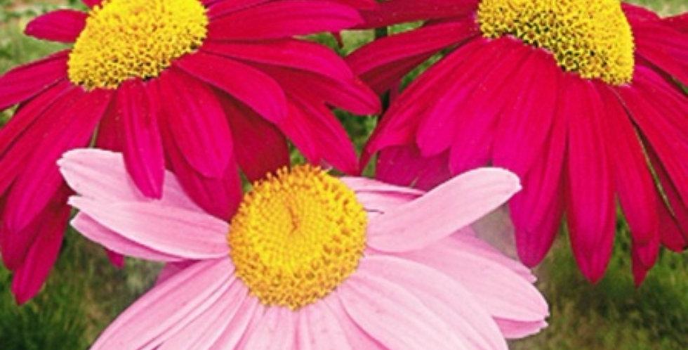 Flower seeds-SD018