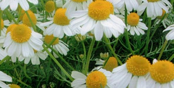 Flower seeds-SD002