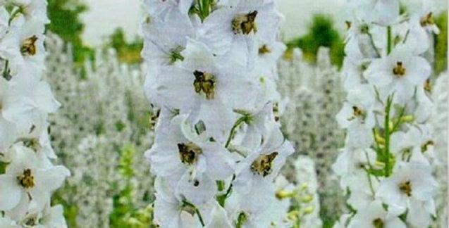 Flower seeds-SA285