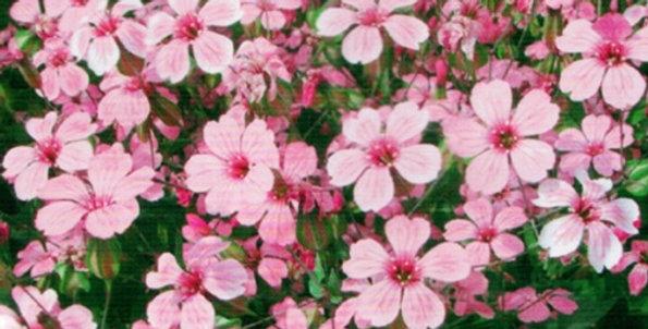 Flower seeds-SJ007