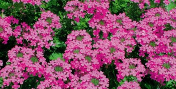 Flower seeds-SA242