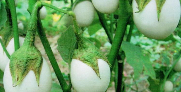 Vegetable seeds-VB050
