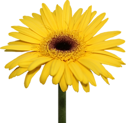 yellow daisy.png